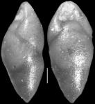 Pleurostomella clavata Cushman, 1926 Holotype