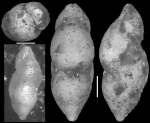 Pleurostomella aguafrescaensis Todd & Kniker, 1952 Holotype