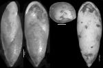 Pleurostomella alazanensis Cushman, 1925. Holotype