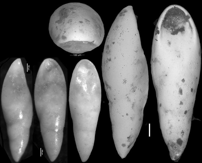 Pleurostomella alazanensis var. cubensis Cushman & Bermudez, 1937. Holotype