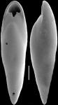 Pleurostomella alazanensis Cushman, 1925. Identified specimen