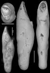 Pleurostomella schuberti Cushman & Harris, 1927 Holotype