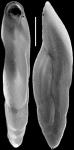Pleurostomella bolivinoides Schubert, 1911. Identified specimen