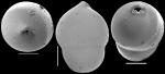 Pleurostomella globulifera Franke, 1913. Identified specimen