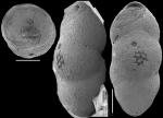 Pleurostomella greatvalleyensis Trujillo, 1960. Identified specimen