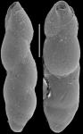 Pleurostomella incrassata Hantken, 1883. Identified specimen