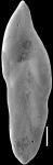 Pleurostomella lata Keyzer, 1953. Identified specimen