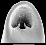 Pleurostomella sapperi Schubert, 1911. Identified specimen