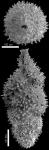Neouvigerina hispida (Schwager, 1866) Identified specimen