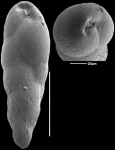 Fursenkoina texturata (Brady, 1884) Identified specimen