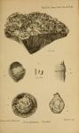 Saccammina carteri Brady, 1871