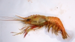 A new record of deep sea caridean shrimp Heterocarpus chani from the southern coast of India
