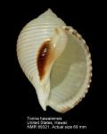 Tonna hawaiiensis