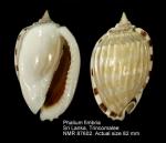 Phalium fimbria