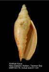Alcithoe fusus