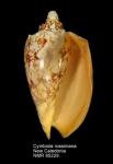 Cymbiola rossiniana