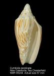 Cymbiola perplicata