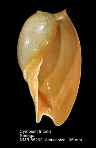 Cymbium tritonis