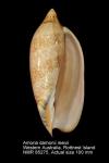 Amoria damonii reevii