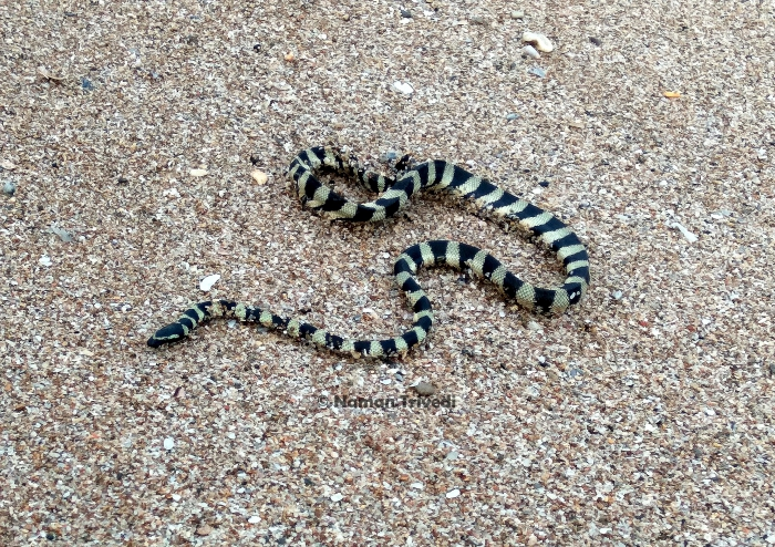Hydrophis lapemoides