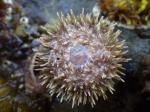 Sea urchin (Strongylocentrotus droebachiensis), ventral view