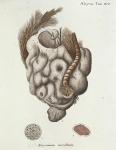 Alcyonium incrustans Esper, 1806