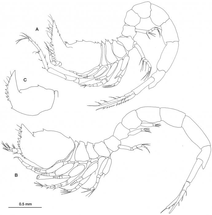 Ithyleucon sorbei gen. et sp. n.