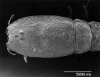 Bodotria arenosa leloeuffi ssp. nov.