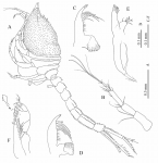 Thalycrocuma sarradini