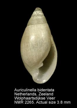 Leucophytia bidentata