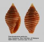 Pseudonebularia pediculus