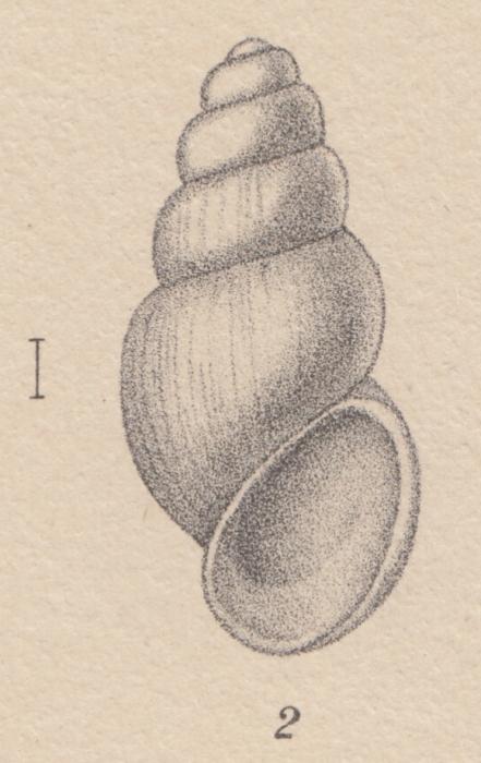 Rissoa adarensis E. A. Smith, 1902
