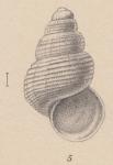 Rissoia gelida E. A. Smith, 1907