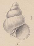 Rissoia deserta E. A. Smith, 1907