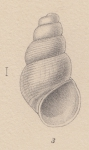 Rissoia fraudulenta E. A. Smith, 1907