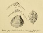 Sinodia jukes-browniana - holotype
