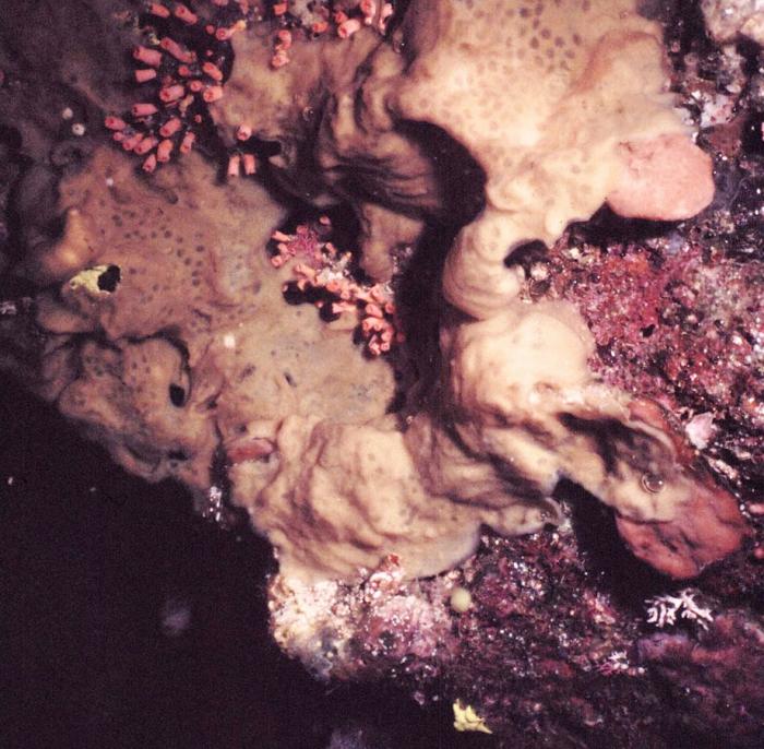 Haliclona (Flagellia) indonesiae