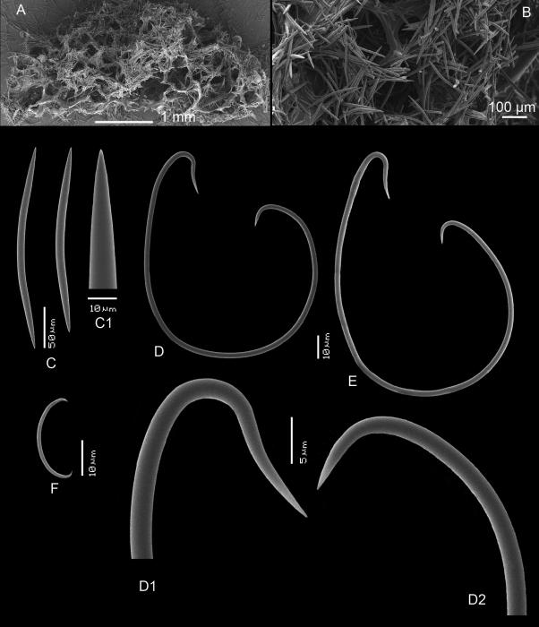 Haliclona (Flagellia) indonesiae spicules