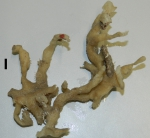 Haliclona (Flagellia) hamata