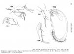 Argilloecia (Argilloecia) antarctica_from Hartmann, 1986