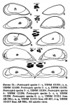 Pontocypris from Maddocks_1969_Recent Ostracodes of the family Pontocyprididae chiefly from the Indian Ocean