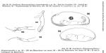 Robustoargilloecia largomarginalis (Argilloecia (Robustoargilloecia) largomarginalis) from Hartmann, 1986