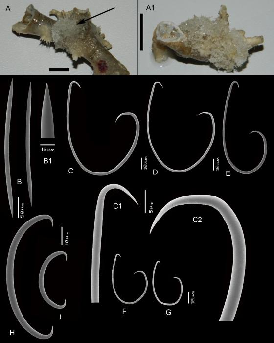 Haliclona (Flagellia) hiberniae
