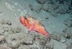 Trachyscorpia cristulata, 410 m West Florida Escarpment, Gulf of Mexico.  Photograph courtesy of NOAA-Pelagic Research Services. Identification by S. Harter.