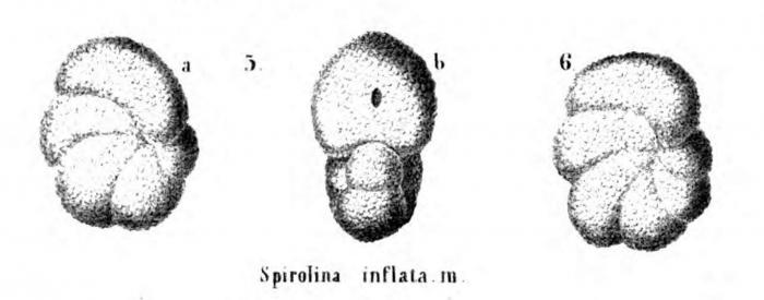 Spirolina inflata (Alth, 1850)