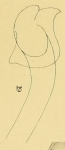 Limnodrilus lucasi (penial sheath)
