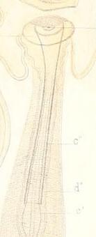 Limnodrilus hoffmeisteri (holotype; penial sheath)