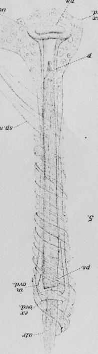Camptodrilus spiralis (penial sheath)