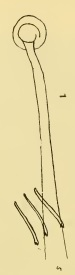 Limnodrilus aurantiacus (penial sheath)