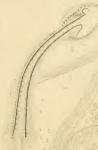 Limnodrilus dugesi (penial sheath)